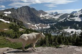 Mountain Goat in Glacier National Park | The Cabin Shack