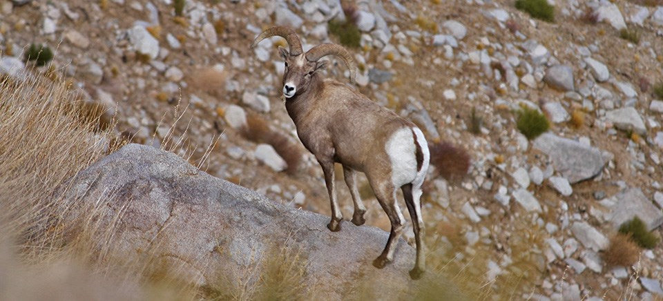 Sierra Nevada Big Horn Sheep | The Cabin Shack