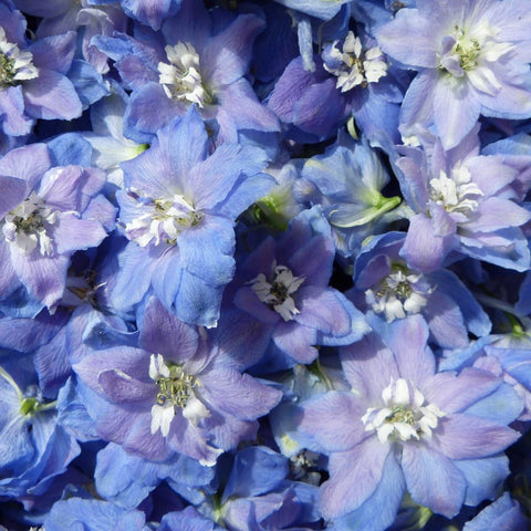 Light blue Hybrid Delphinium Confetti