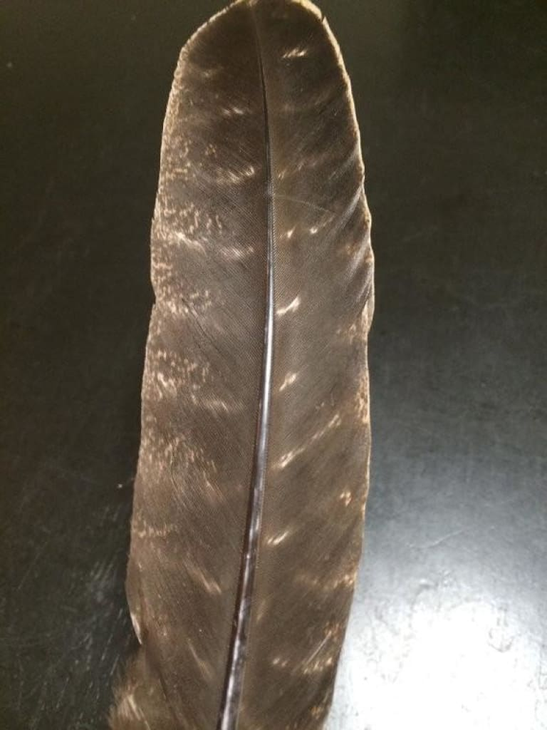 "Smudge Feather (Turkey Barred Feather)  size 10-12"" - New Moon Beginnings - 1"