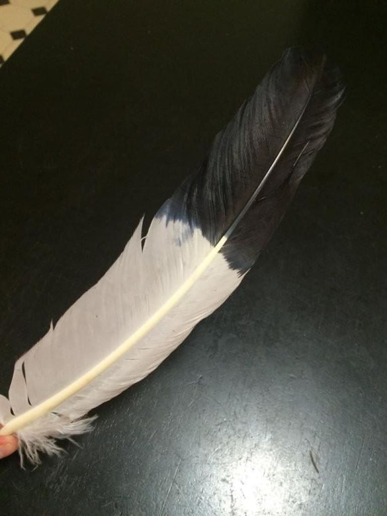 "Smudge Feather (whtie & black) - size 10-12"" - New Moon Beginnings - 1"