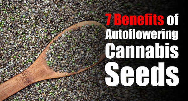 7 Benefits of Autoflowering Cannabis Seeds