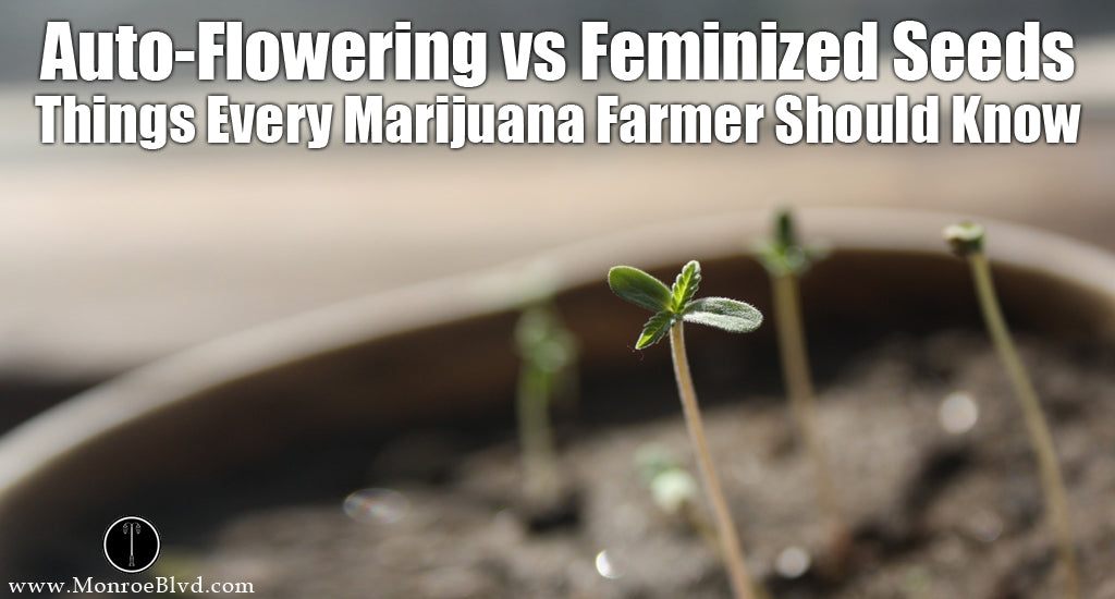 feminized-cannabis-seeds-and-autoflowering-marijuana-seeds