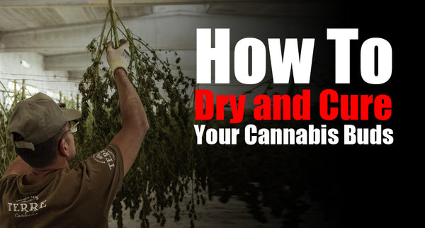 How To Dry and Cure Your Cannabis Buds
