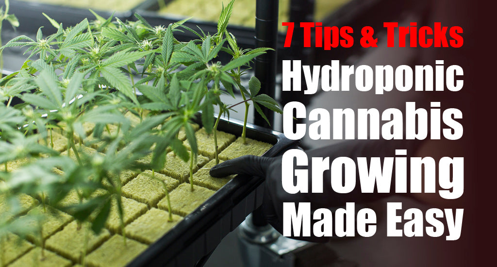 hydroponic-cannabis-growing
