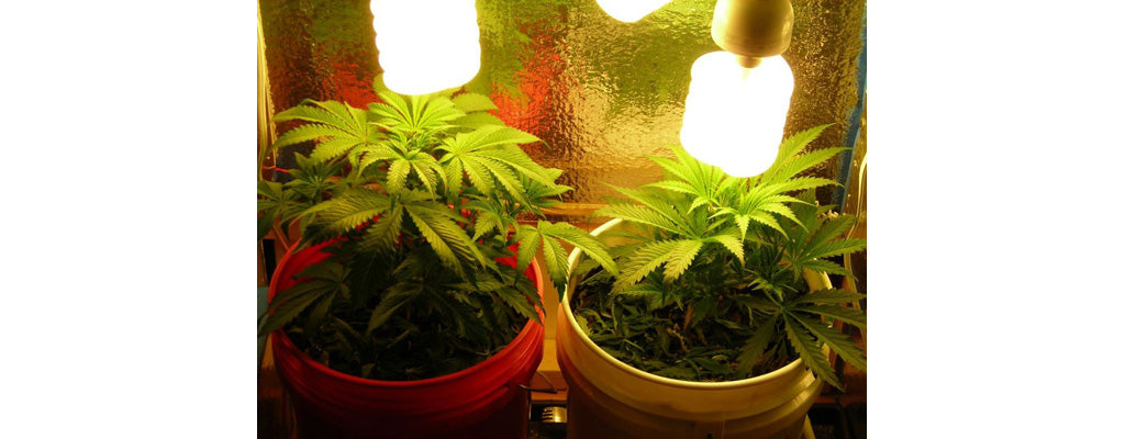 marijuana-light-compact-fluorescent-grow-lights-to-grow-cannabis