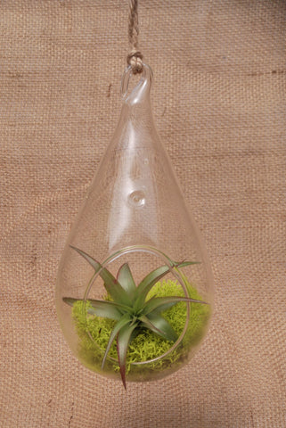"7"" Tear Drop Terrarium with Air Plant & Reindeer Moss"