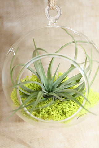 "6"" Globe Terrarium with Air Plant & Reindeer Moss"