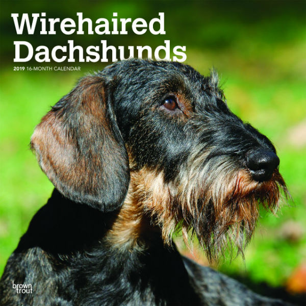Wirehaired Dachshunds 2019 Wall Calendar