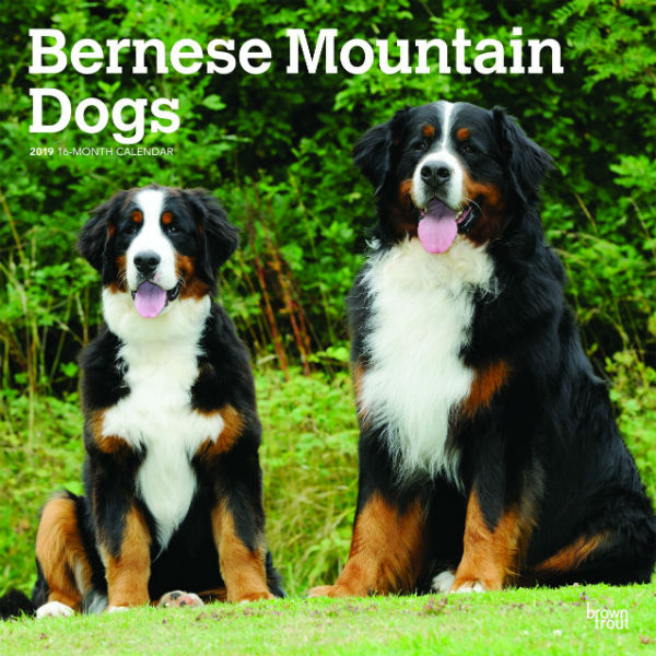 Bernese Mountain Dogs 2019 Wall Calendar