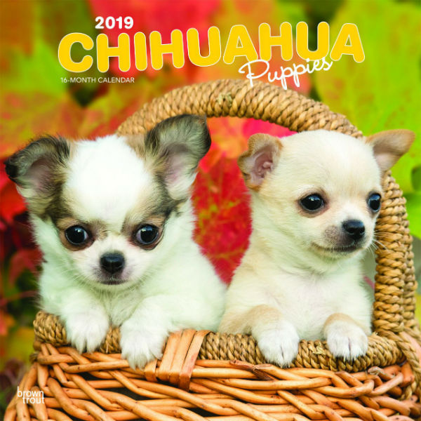 Chihuahua Puppies 2019 Wall Calendar