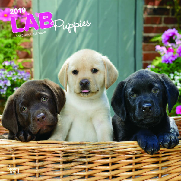 Labrador Retriever Puppies 2019 Wall Calendar