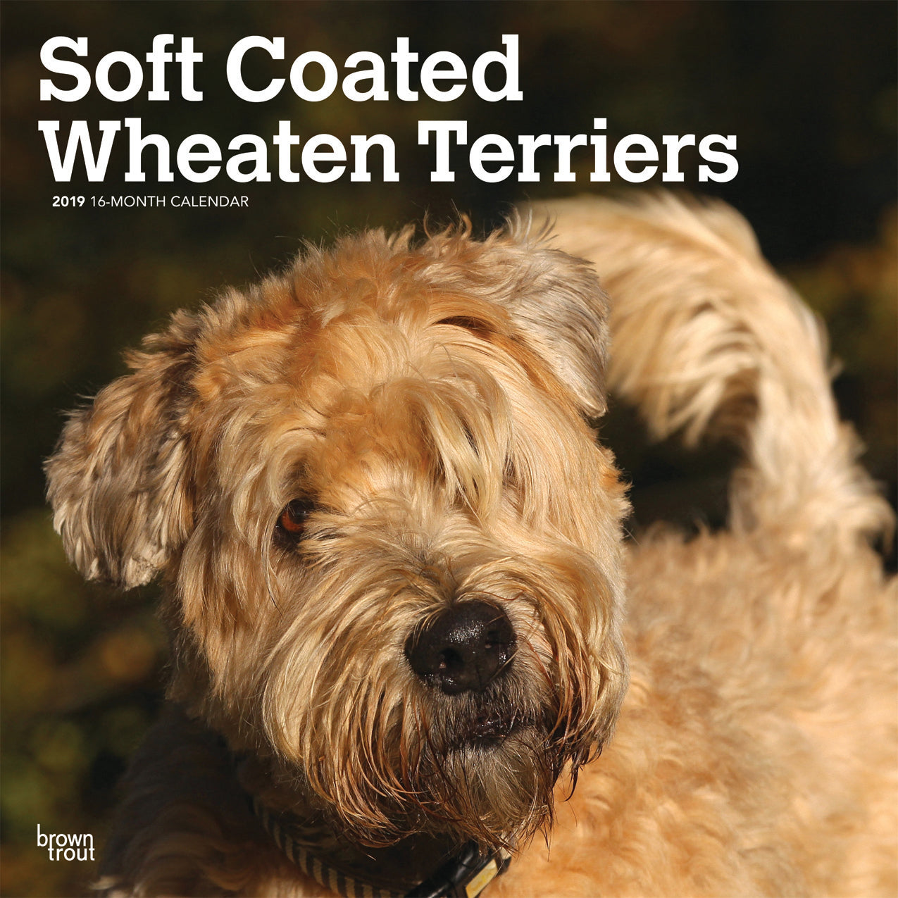 Soft Coated Wheaton Terriers 2019 Wall Calendar