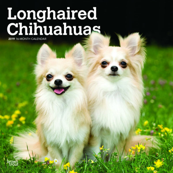 Longhaired Chihuahuas 2019 Wall Calendar