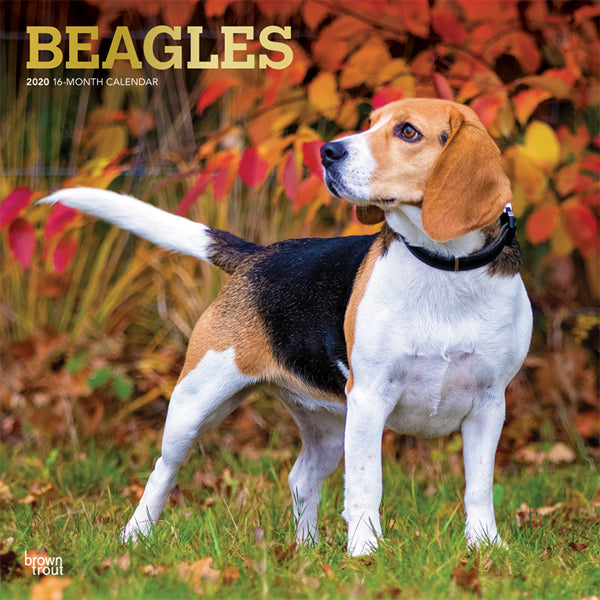 Beagles 2020 Wall Calendar