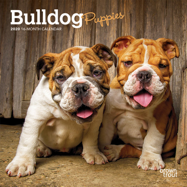 Bulldog Puppies 2020 Mini Wall Calendar