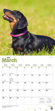 Dachshunds 2020 Wall Calendar
