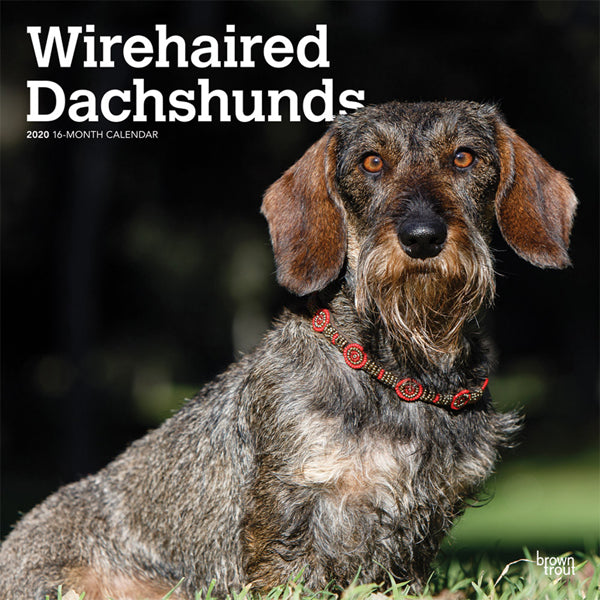 Wirehaired Dachshunds 2020 Wall Calendar
