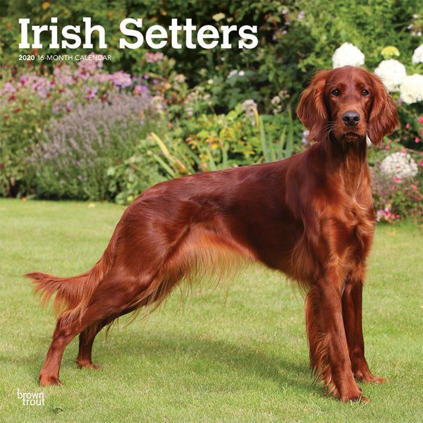 Irish Setters 2020 Wall Calendar