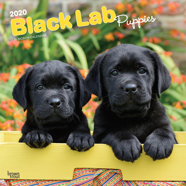 Black Labrador Retriever Puppies 2020 Wall Calendar
