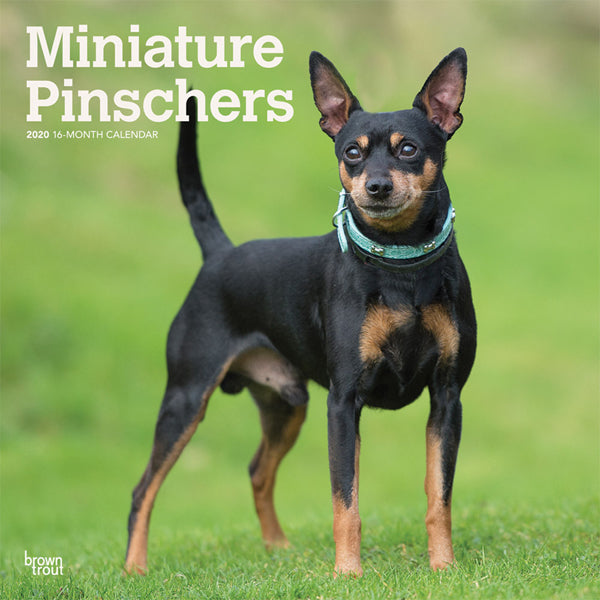 Miniature Pinschers 2020 Wall Calendar
