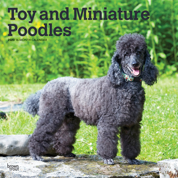 Toy And Miniature Poodles 2020 Wall Calendar