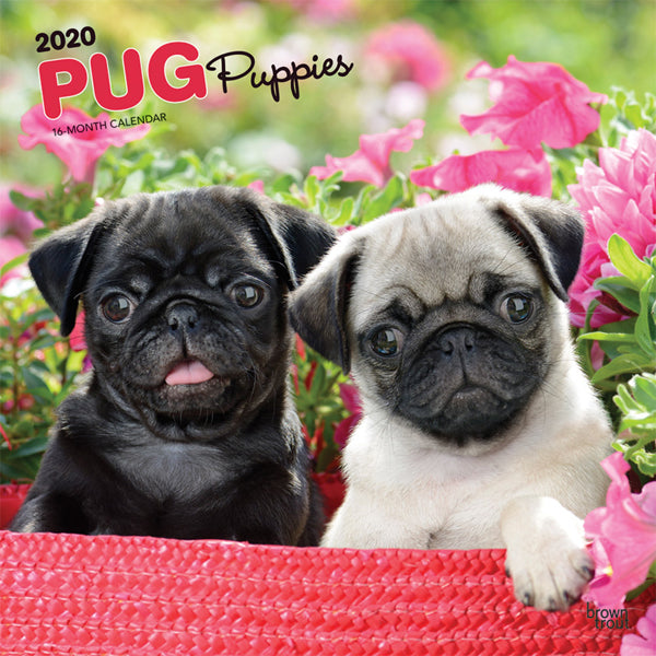 Pug Puppies 2020 Wall Calendar