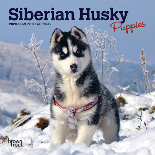 Siberian Husky Puppies 2020 Mini Wall Calendar