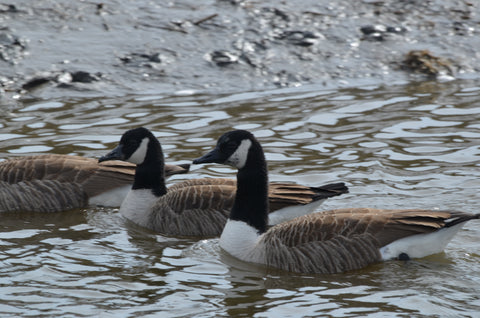 New England Geese Swimming