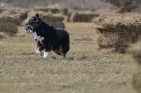 Mini Aussie Running Through Field