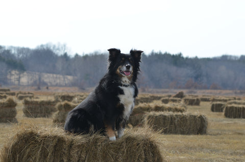 Miniature Australian Shepherd on Hay Bale