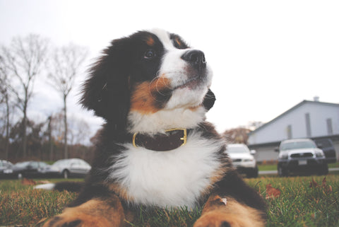 Bernese Mountain Dog Puppy 4 Months Old