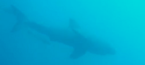 Great White Shark Encounter Off The Coast Of Marathon In The Florida Keys