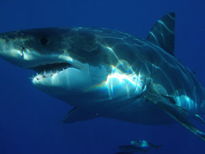 Commercial Diver Injured By Great White Shark Diving Off Farallon Islands