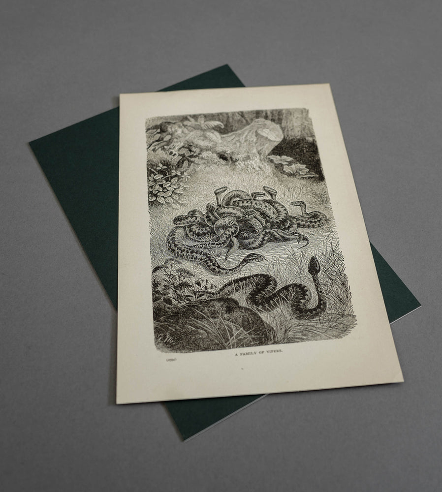 Load image into Gallery viewer, Family Of Vipers Wood Engraving 1904  - Vintage Print