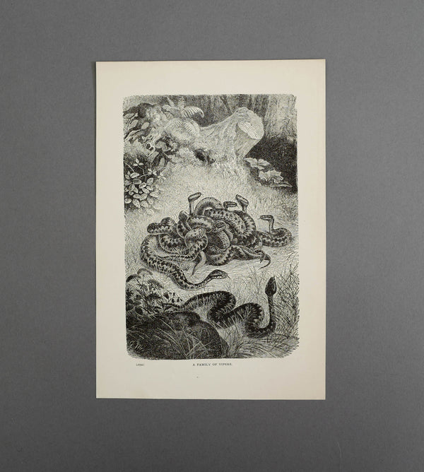 Family Of Vipers Wood Engraving 1904  - Vintage Print