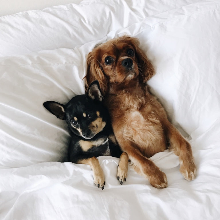 A pair of dogs sitting on a bed with white sheets