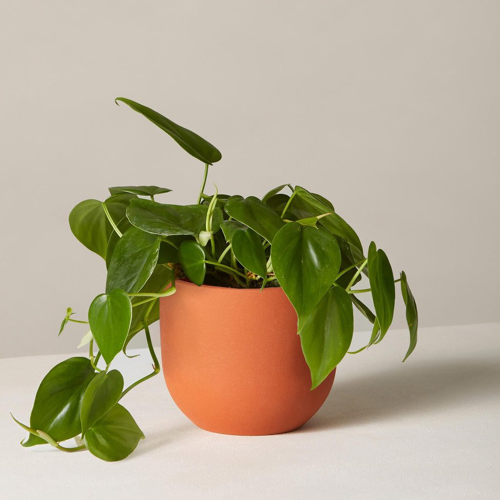 Philodendron Green in Small Grant Planter - Terracotta