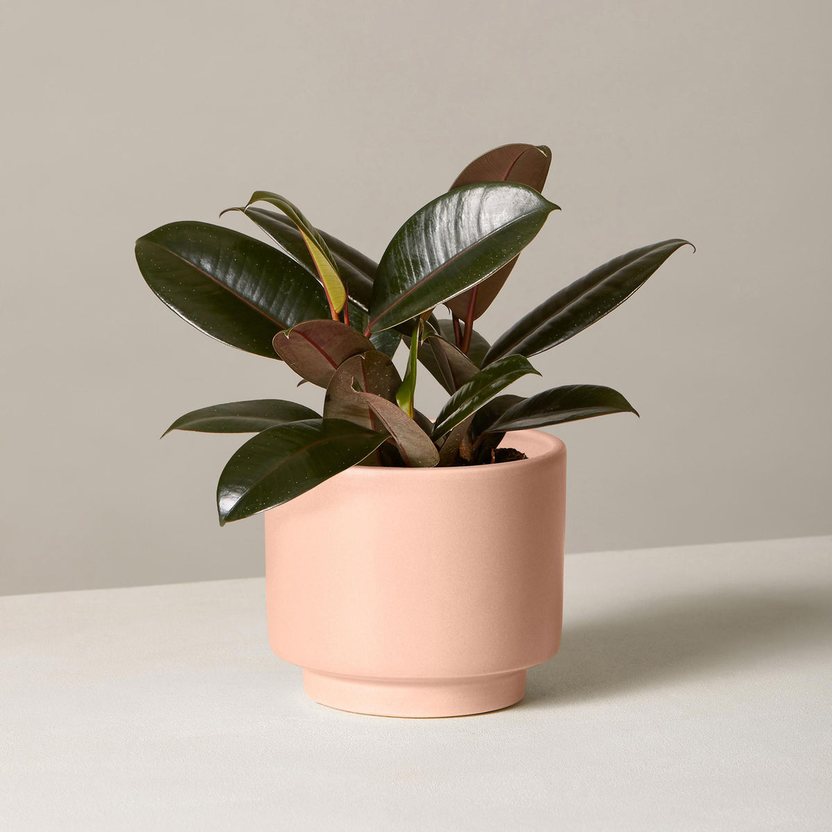Rubber Tree in Small Prospect Planter / Blush