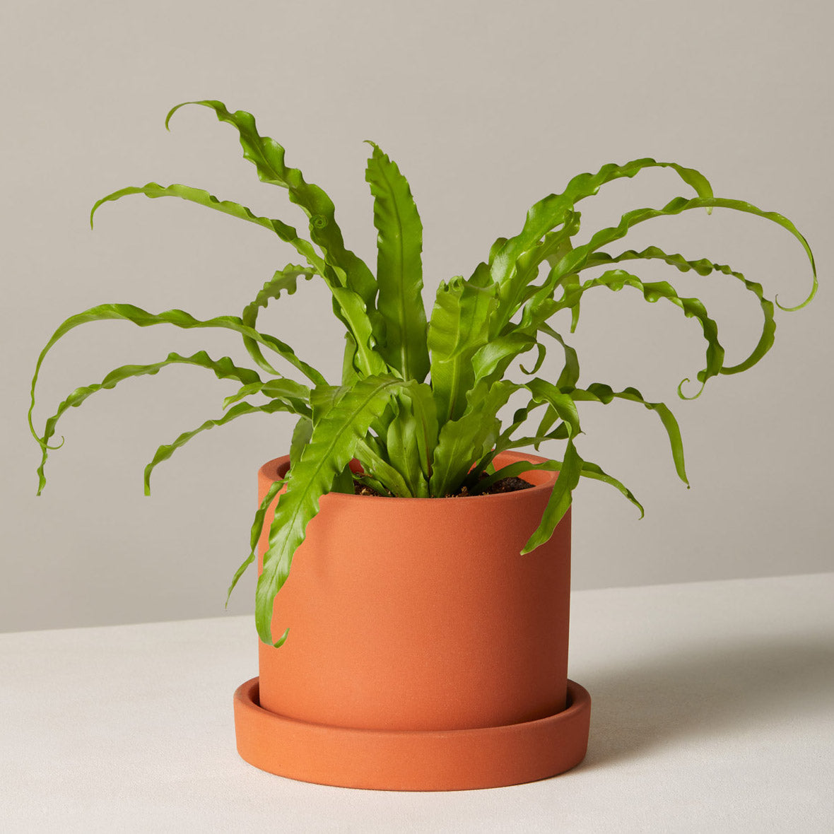 Bird Nest Fern in Small Hyde Planter / Terracotta