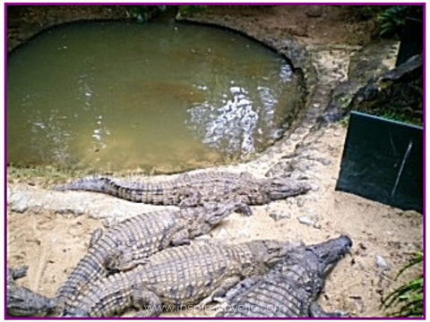 Crocodiles at Vanille Nature Park in Mauritius