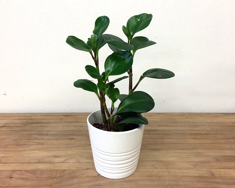 Small potted plants - white