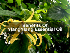 Benefits Of Ylang Ylang Essential Oil
