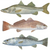 Thumbnail for Trout, Snook, Redfish Decal Mini