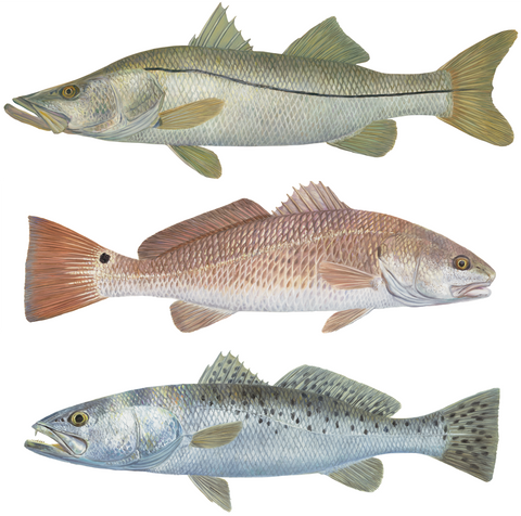 Inshore Slam, 3 Separate Decals Trout Redfish Snook Randy McGovern Artwork - Decals / Stickers - Skiff Life