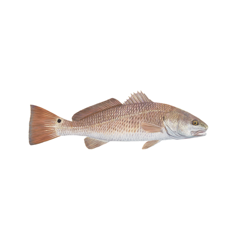 Redfish Decal Lifelike - Skiff Life