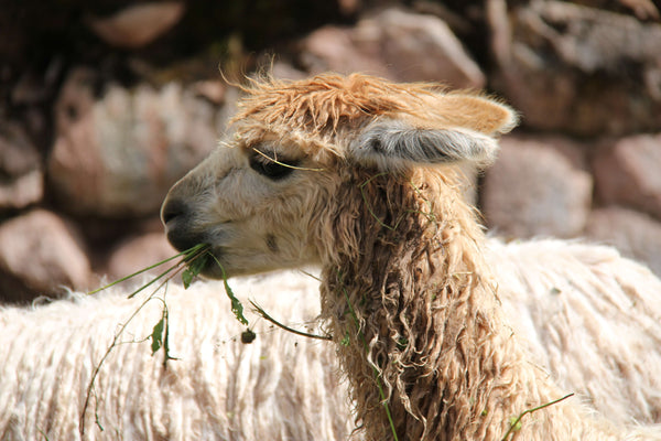 Alpaca Fleece Is Ethical, Cruelty-Free and Sustainable.