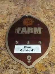 BARNEYS FARM BLUE GELATO 41 FEM 5S