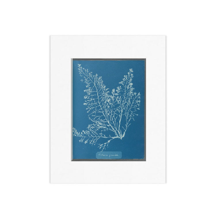 Anna Atkins: Cystoseira Granulata Matted Print - The New York Public Library Shop