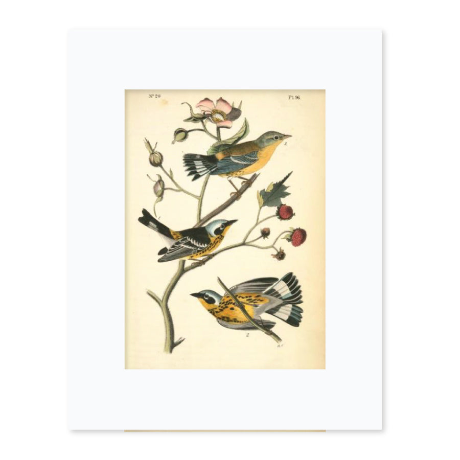 Black-And-Yellow Wood-Warbler Matted Print